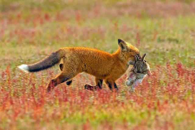 aigle-vol-lapin-renard-01