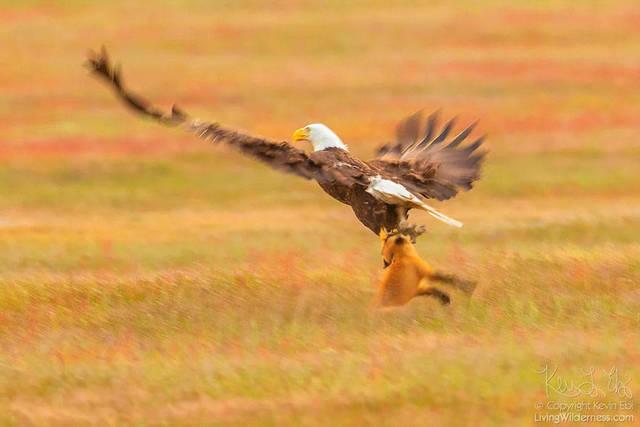 aigle-vol-lapin-renard-02