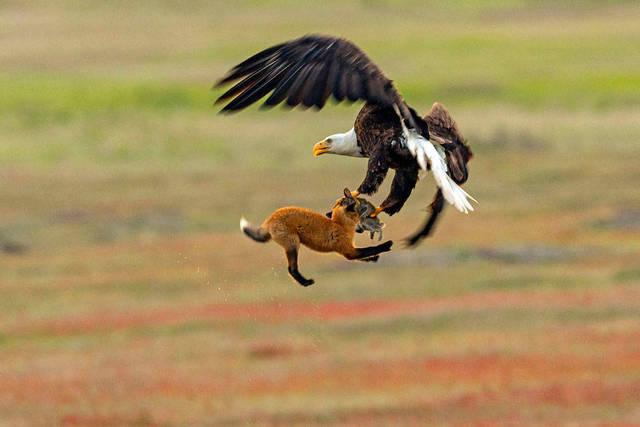 aigle-vol-lapin-renard-03