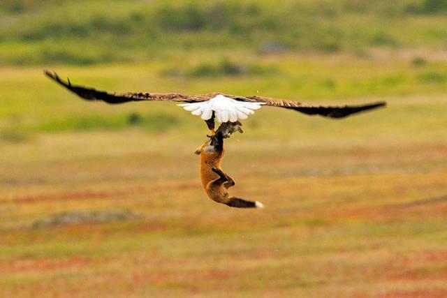 aigle-vol-lapin-renard-04
