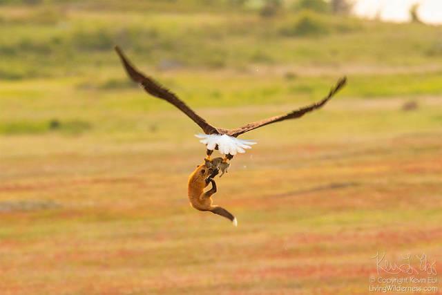 aigle-vol-lapin-renard-05