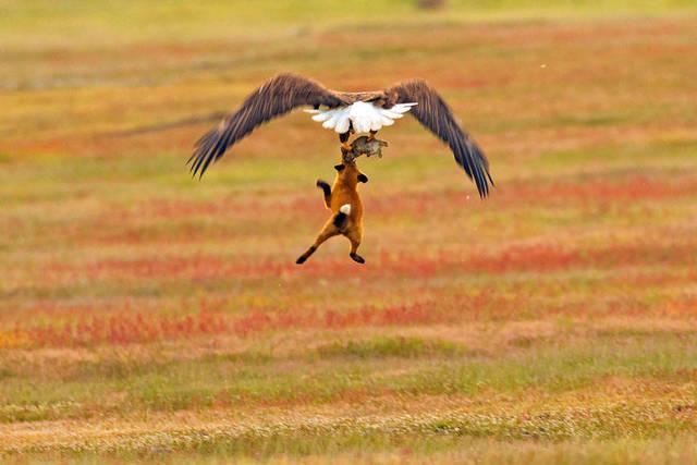aigle-vol-lapin-renard-06