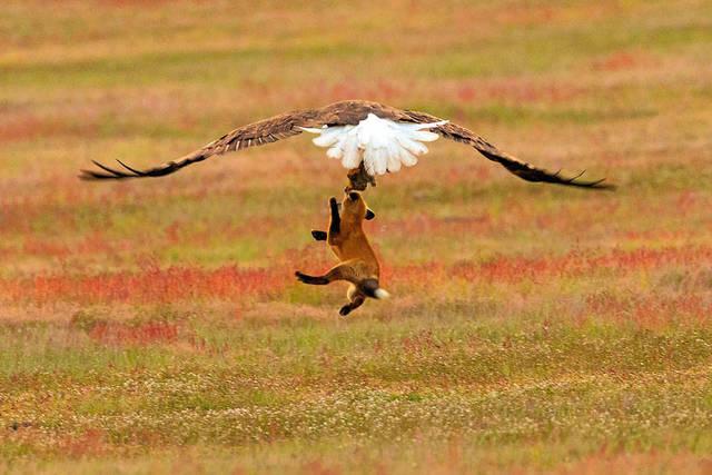 aigle-vol-lapin-renard-07
