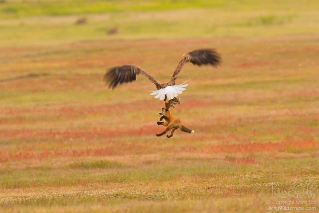 aigle-vol-lapin-renard-08