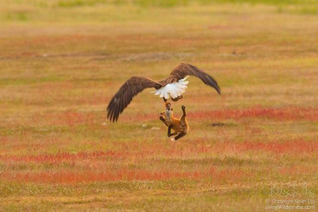 aigle-vol-lapin-renard-09