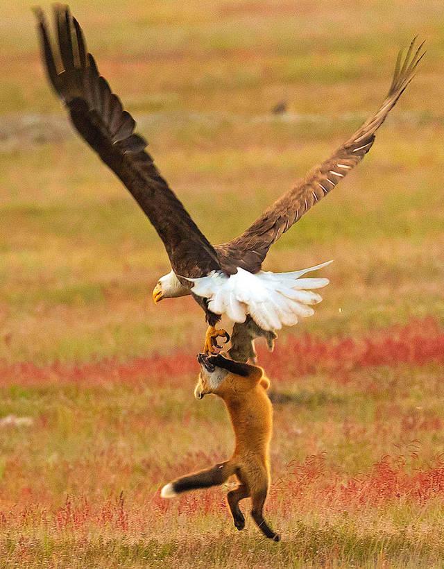 aigle-vol-lapin-renard-10