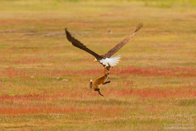 aigle-vol-lapin-renard-11