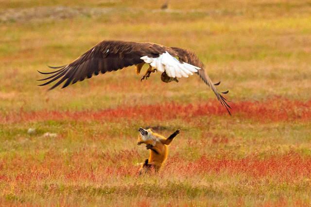 aigle-vol-lapin-renard-12