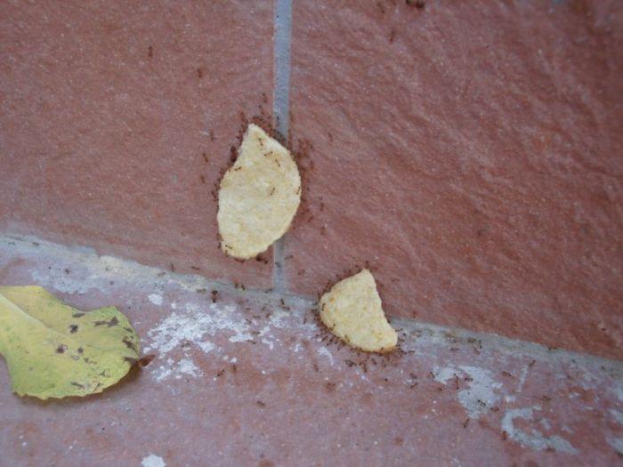 fourmis-chips-travail-equipe-16
