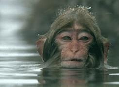 singe-dans-eau