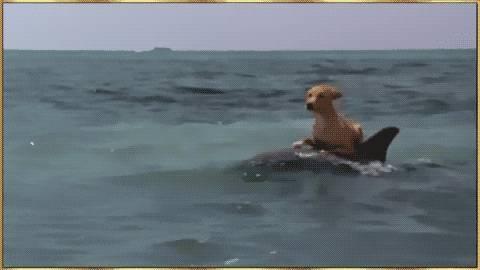 chien-surfe-sur-daupin