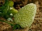 fraise-qui-murit
