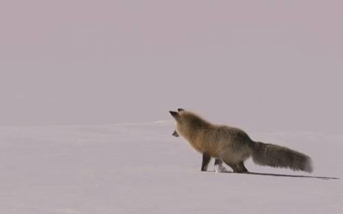 gif-renard-plonge-neige