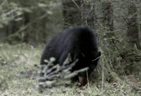 ours-attaque-par-une-fourmi-rouge
