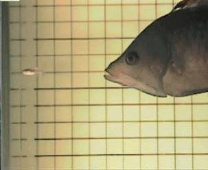 poisson-bouche-extensible