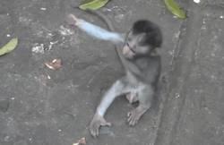 singe-appelle-mere