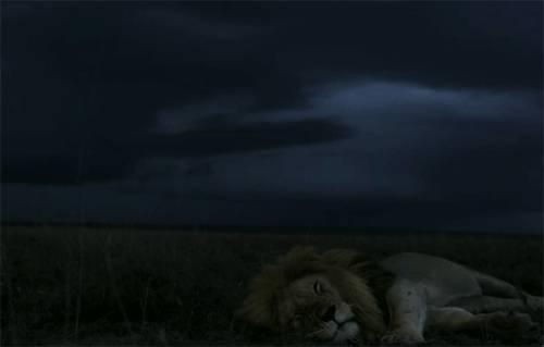 lion-dort-orage