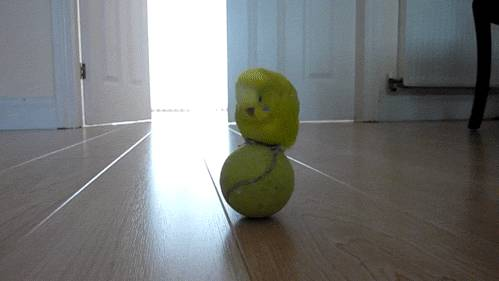 perruche-balle-tennis