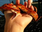 serpent-baille