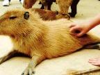 caresser-capybara