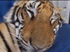 tigre-reveille-par-surprise