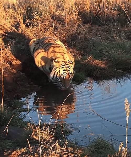 tigre-boit-lac