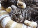 poussin-picore-oreille-chat