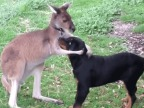 kangourou-reconforte-chien