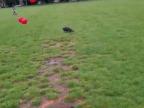 chiens-ballons-frontflip