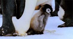 pingouin-celebre-ses-2-pas