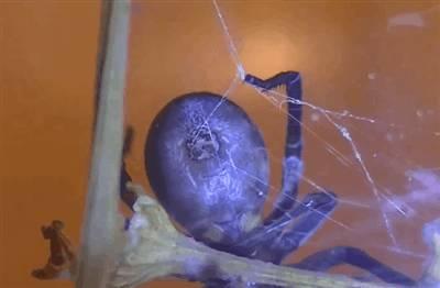 glandes-toile-araignee