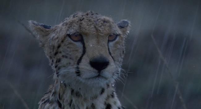 guepard-sous-pluie