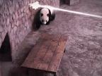 panda-evite-tirs-laser