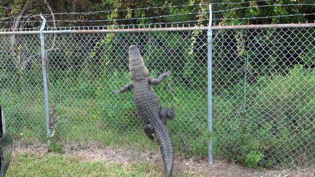 crocodile-grimpe-grille