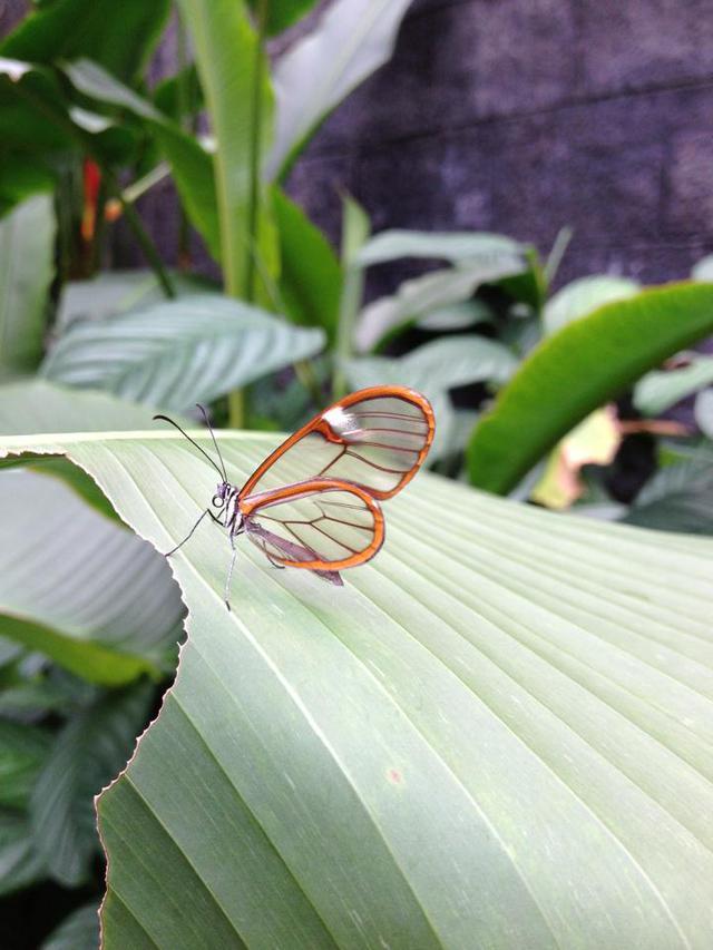 papillon-ailes-transparentes