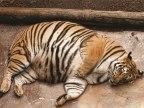 tigre-obese