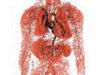 vaisseaux-sanguins-corps-humain