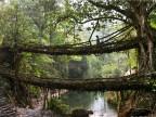 pont-naturel-arbre-inde