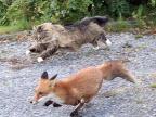 renard-attaque-par-chat