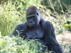 gorille-photogenique