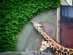 une-giraffe-qui-mange-tout-quelle-pouvait-toucher