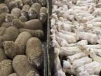 moutons-poilus-moutons-tondus