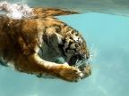 tigre-sous-leau