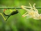 une-sauterelle-mue