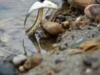 serpent-sauve-poisson-noyade