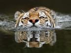tigre-qui-nage