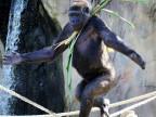 pour-draguer-les-gorilles-depassent