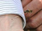 dard-abeille-apres-avoir-pique