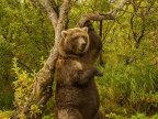 ours-qui-frotte-arbre