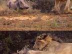merde-cest-pas-simba-lion